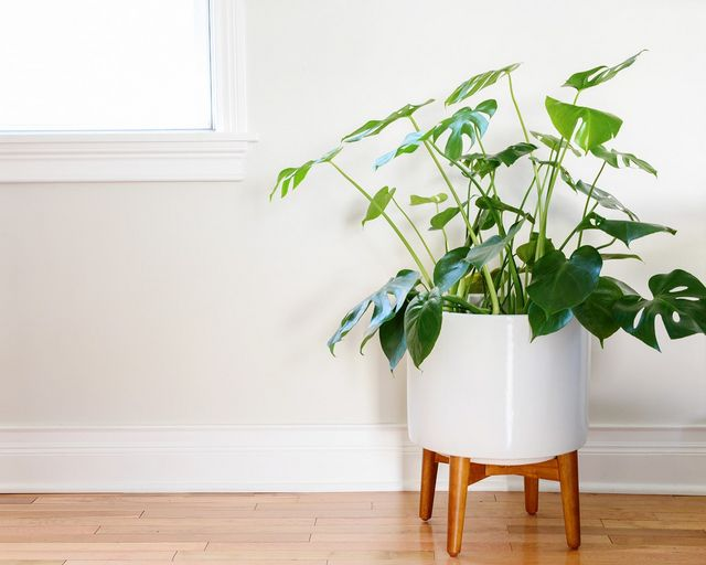 fiddle leaf philodendron plant our houseplants of choice yellow brick home bloglovin