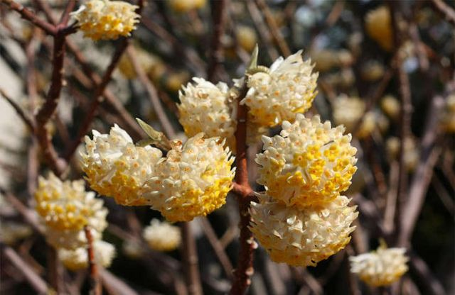8 Cold Climate Flowering Shrubs And Small Trees For Early Spring